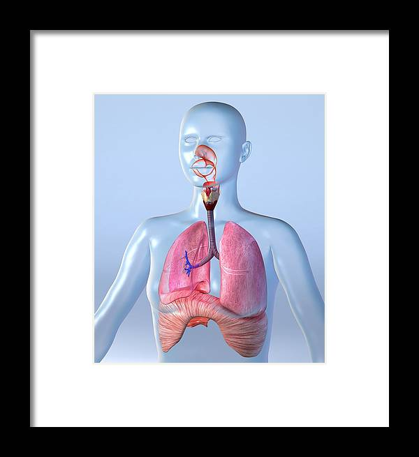 Lung Framed Print featuring the photograph Respiratory System, Artwork by Roger Harris