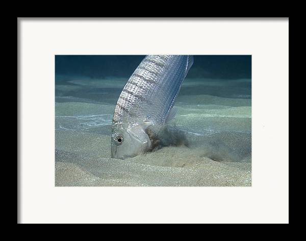 Fish Framed Print featuring the photograph Striped Seabream Searching For Prey by Angel Fitor