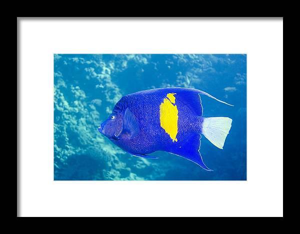 Yellowbar Angelfish Framed Print featuring the photograph Yellowbar Angelfish by Georgette Douwma