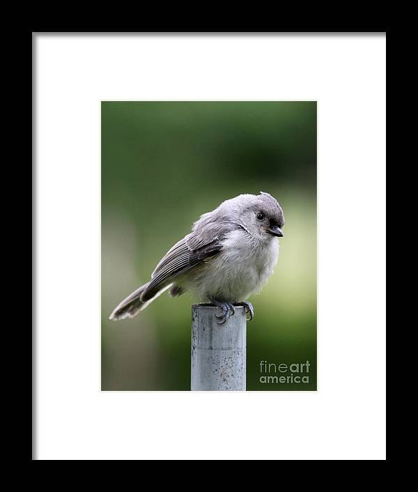 Nature Framed Print featuring the photograph Tufted Titmouse by Jack R Brock