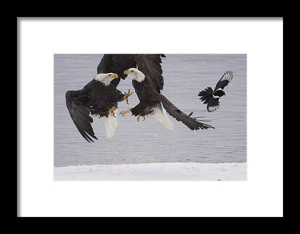 Mp Framed Print featuring the photograph Bald Eagle Haliaeetus Leucocephalus by Michael Quinton