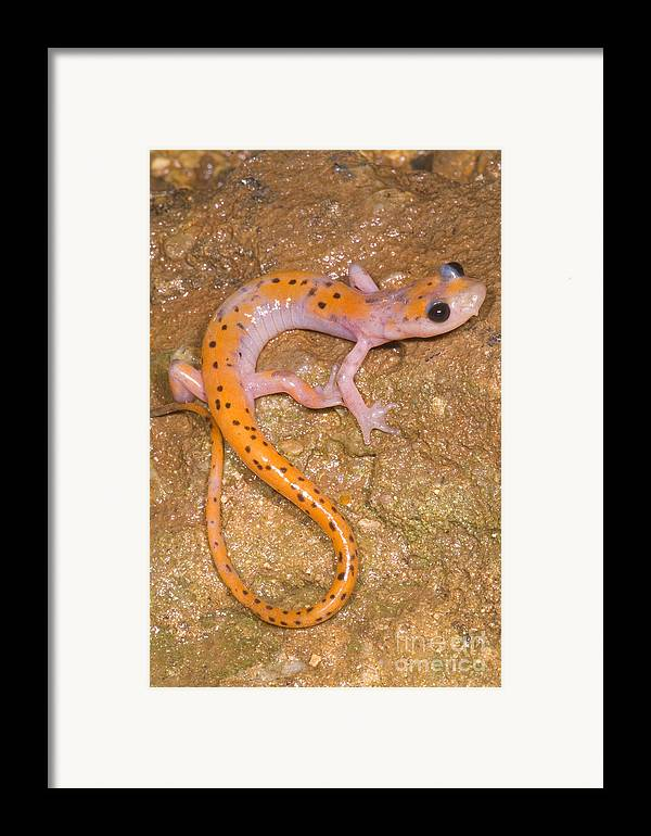 Eurycea Lucifuga Framed Print featuring the photograph Cave Salamander by Dante Fenolio