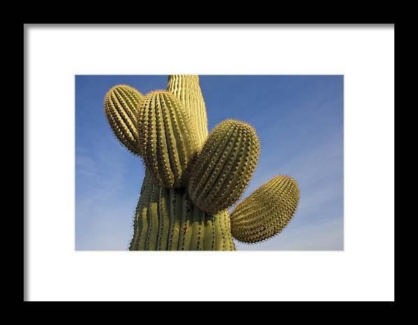 Mp Framed Print featuring the photograph Saguaro Carnegiea Gigantea Cactus by Ingo Arndt