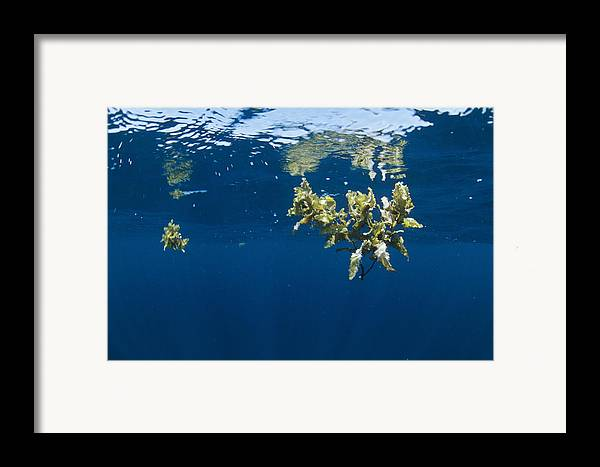 Alga Framed Print featuring the photograph Tropical Seaweed by Alexis Rosenfeld