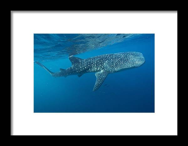 Rhincodon Typus Framed Print featuring the photograph Whale Shark by Alexis Rosenfeld