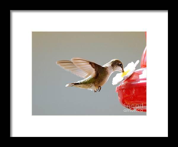 Birds Framed Print featuring the photograph Hummingbird by Lori Tordsen