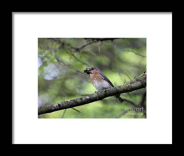 Nature Framed Print featuring the photograph Eastern Bluebird by Jack R Brock