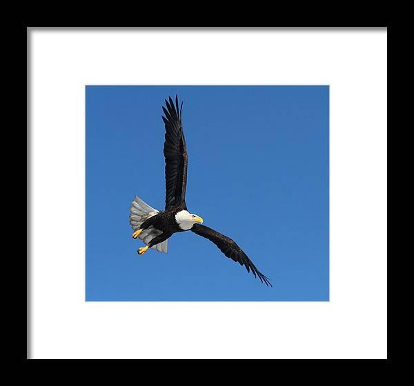 Doug Lloyd Framed Print featuring the photograph Alaska Bald Eagle by Doug Lloyd