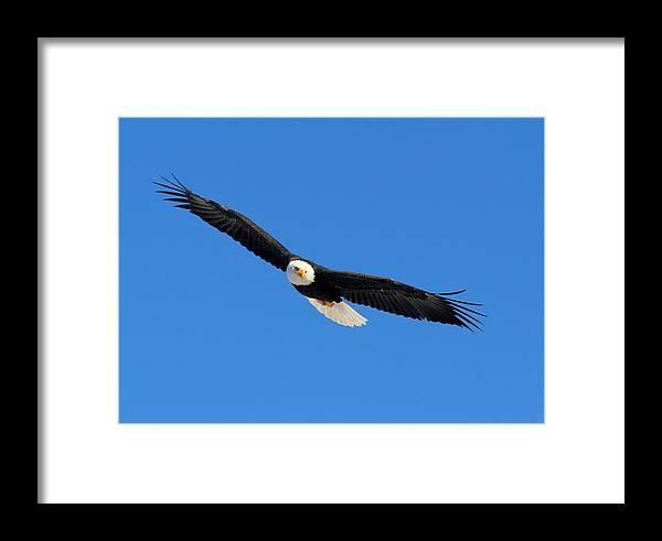 Doug Lloyd Framed Print featuring the photograph American Bald Eagle by Doug Lloyd