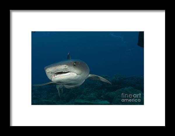 Kimbe Bay Framed Print featuring the photograph Whitetip Reef Shark, Kimbe Bay, Papua by Steve Jones