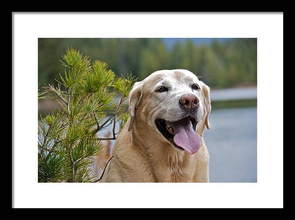 Lake Framed Print featuring the photograph Yellow Labrador by Steven Lapkin