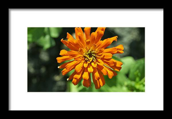 Framed Print featuring the photograph Zinnia by Gornganogphatchara Kalapun