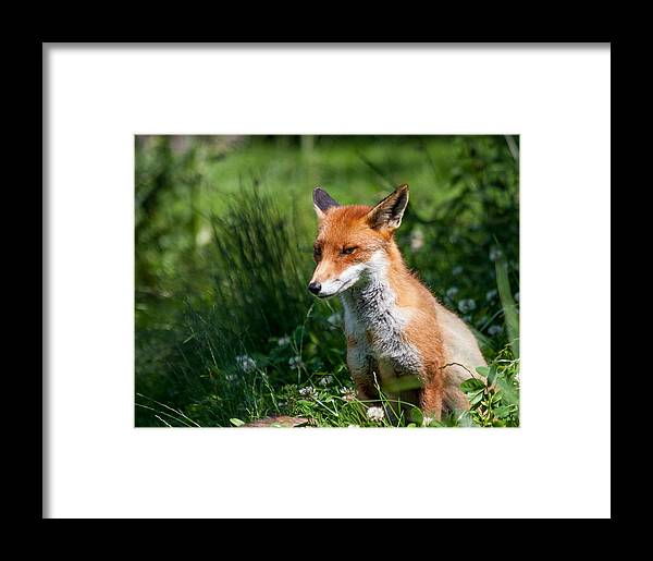 British Wildlife Centre Framed Print featuring the photograph A British Red Fox by Dawn OConnor
