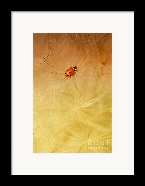 Insect Framed Print featuring the photograph Dandelions by Iris Greenwell