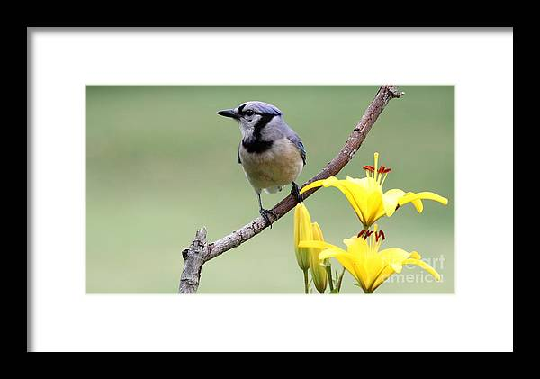 Nature Framed Print featuring the photograph Blue Jay by Jack R Brock