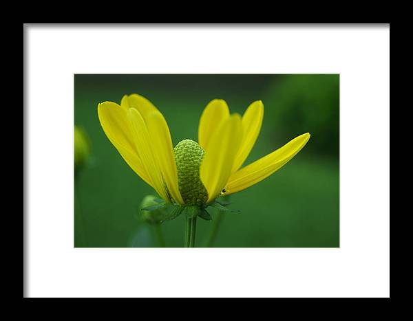 Framed Print featuring the photograph Flower by Gornganogphatchara Kalapun