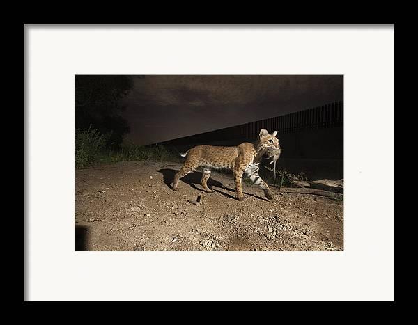 Outdoors Framed Print featuring the photograph A Bobcat Crosses A Rio Grande Border by Joel Sartore