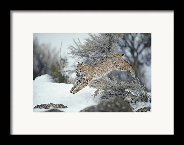 North America Framed Print featuring the photograph A Bobcat Leaps With A Horned Lark by Michael S. Quinton
