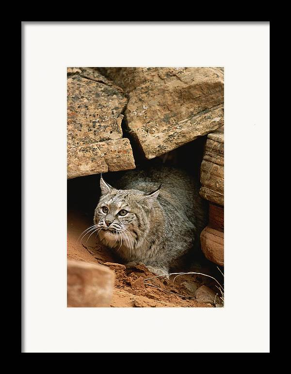 Animals Framed Print featuring the photograph A Bobcat Pokes Out From Its Alcove by Norbert Rosing