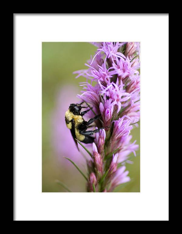 Nature Framed Print featuring the photograph A Bombus Bumblebee On A by Joel Sartore