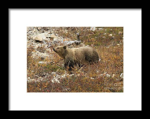 Grizzly Bear Framed Print featuring the photograph A Breath Of Fresh Air by Adam Jewell