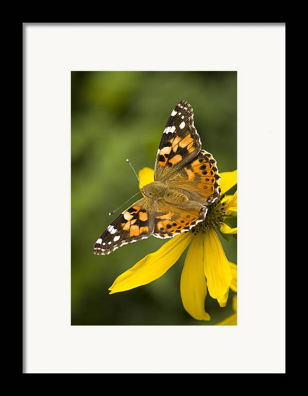Jemez Mountains Framed Print featuring the photograph A Butterfly Sits Atop A Yellow by Ralph Lee Hopkins