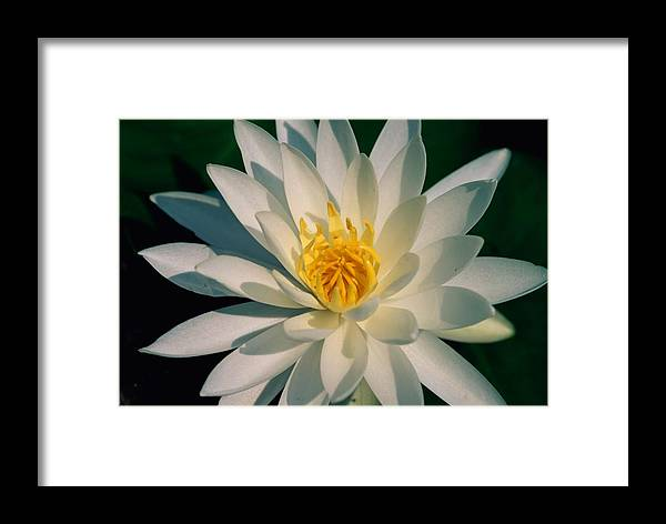 fragrant Water Lily Flowers Framed Print featuring the photograph A Close View Of A White Fragrant Water by Medford Taylor