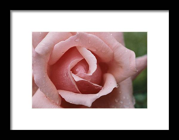 Pink Roses Framed Print featuring the photograph A Close View Of The Top Of A Pink Rose by Todd Gipstein