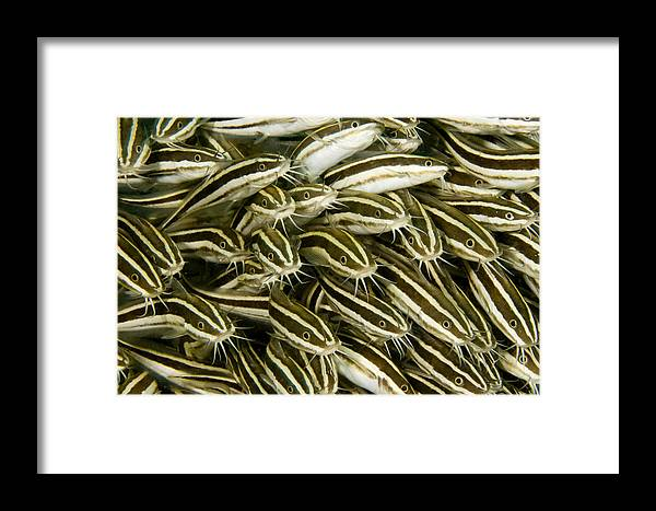 Plotosus Lineatus Framed Print featuring the photograph A Dense School Of Juvenile Striped by Tim Laman