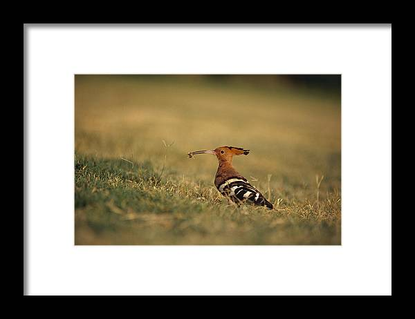 Taj Mahal Framed Print featuring the photograph A Eurasian Hoopoe With An Insect by Jason Edwards