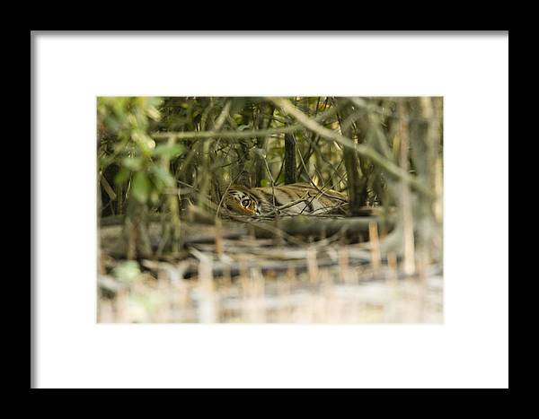 Day Framed Print featuring the photograph A Female Tiger Rests In The Undergrowth by Tim Laman