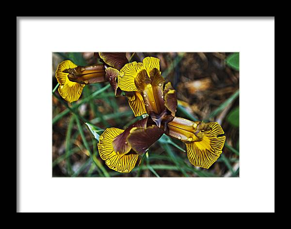 Iris Framed Print featuring the photograph A Fine Pair by Christopher Gaston