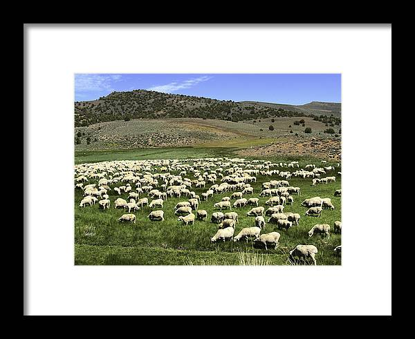 Landscape Framed Print featuring the photograph A Flock Of Sheep by Philip Tolok