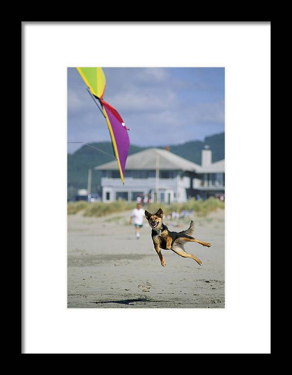 Lincoln City Framed Print featuring the photograph A German Shepherd Leaps For A Kite by Phil Schermeister