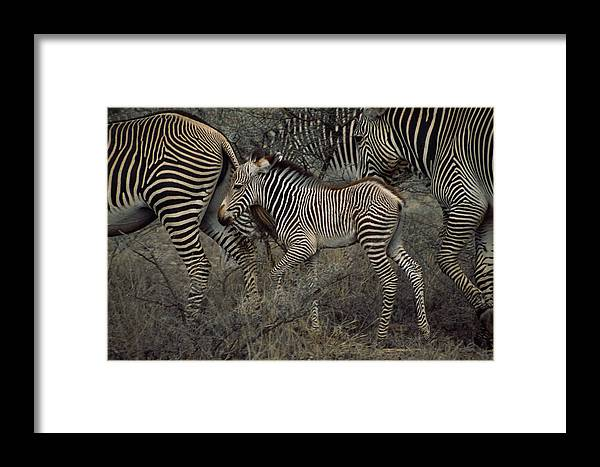 Samburu Game Reserve;refuges And Reserves;groups Of Animals;grevy's Zebras;equus Grevyi;juvenile Mammals;parenting (by Animals);rare Framed Print featuring the photograph A Grevys Zebra With Young In Samburu by Marc Moritsch