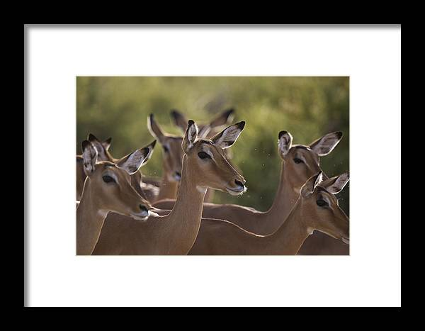 Outdoors Framed Print featuring the photograph A Group Of Alert Impalas In Samburu by Michael Nichols