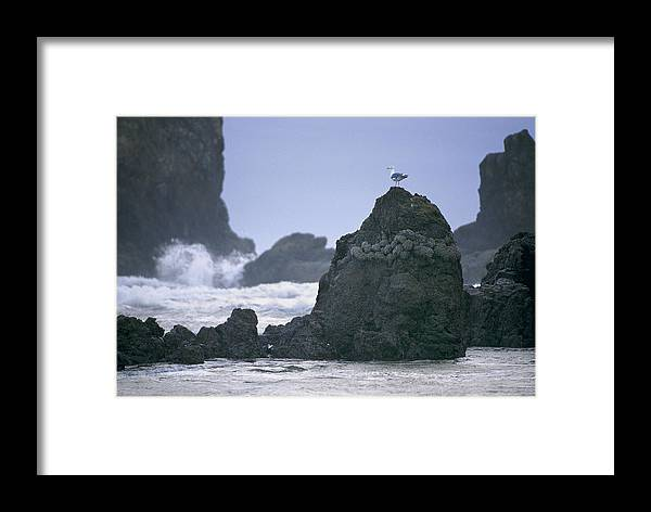 Cannon Beach Framed Print featuring the photograph A Gull Sits On A Rock At Cannon Beach by Phil Schermeister