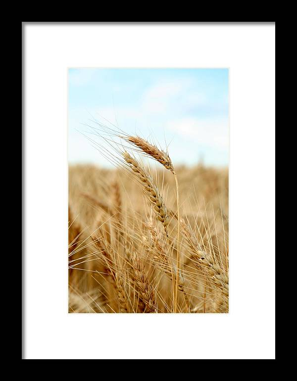 Wheat Framed Print featuring the photograph A Head Taller by Andrew Dyer Photography