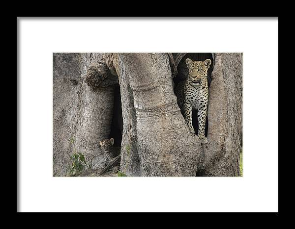 Okavango Delta Framed Print featuring the photograph A Leopard And Cub Inside A Giant Baobab by Beverly Joubert