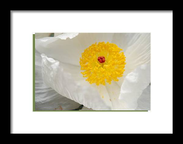 Yellow Framed Print featuring the photograph A Macro Of A White Mexican Poppy Flower by Jennifer Holcombe