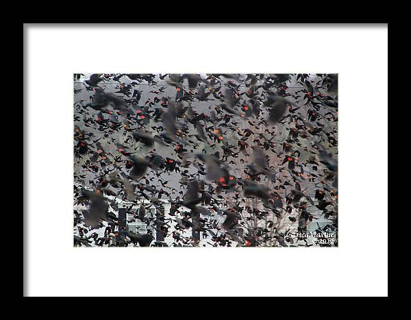 Sooc Framed Print featuring the photograph A Mob Of Red-winged Blackbirds by Ericamaxine Price