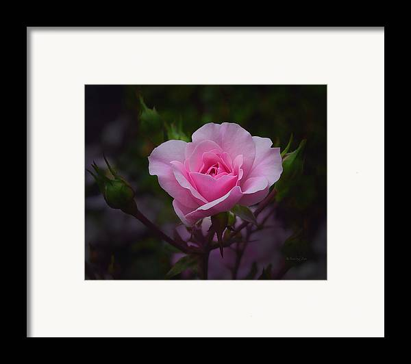 Roses Framed Print featuring the photograph A Pink Rose by Xueling Zou