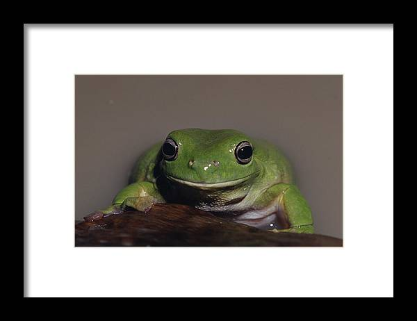 Amphibian Research Centre Framed Print featuring the photograph A Queensland Subspecies Of Green Tree by Jason Edwards