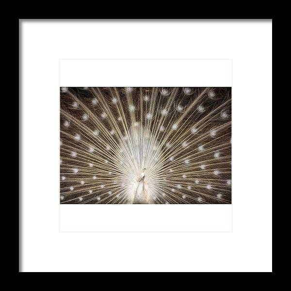 Framed Print featuring the photograph A Rare White Peacock In Full Display by Larry Marshall