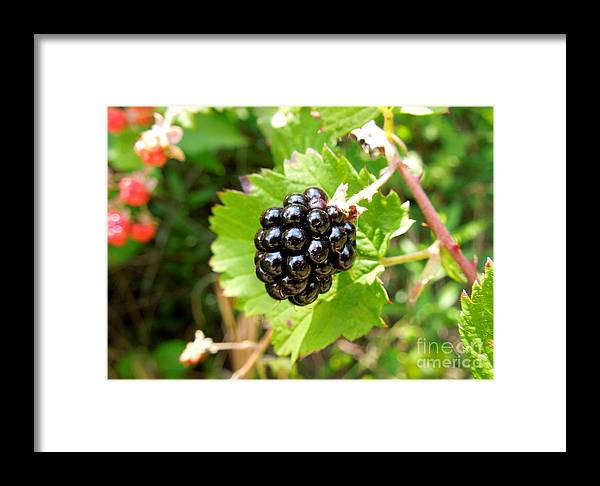 Blackberry Framed Print featuring the photograph A Ripe Blackberry by Renee Trenholm