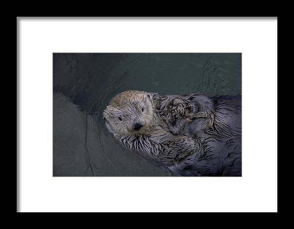 Animals Framed Print featuring the photograph A Sea Otter Gazes At The Camera by Taylor S. Kennedy