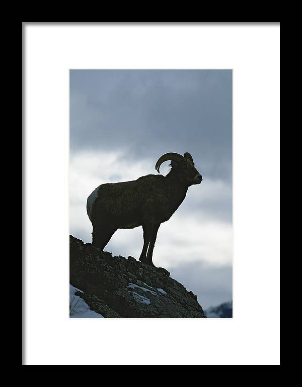 North America Framed Print featuring the photograph A Silhouetted Bighorn Sheep Standing by Tom Murphy