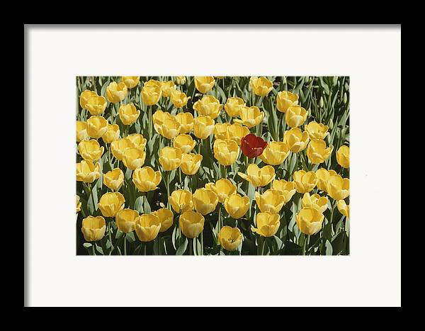 Plants Framed Print featuring the photograph A Single Red Tulip Among Yellow Tulips by Ted Spiegel