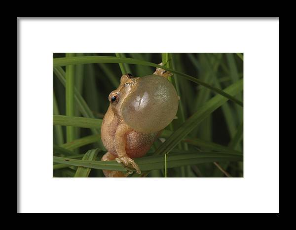 Maryland Framed Print featuring the photograph A Spring Peeper Faces The Camera by George Grall