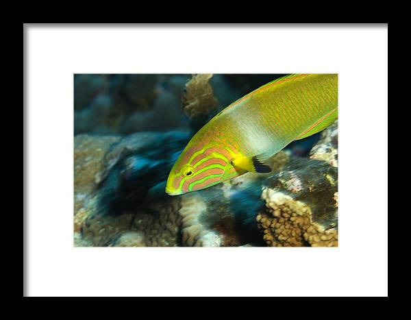 Kosrae Island Framed Print featuring the photograph A Sunset Wrasse Swimming by Tim Laman